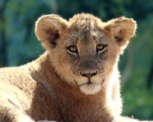 Lion Cub, Billabong Zoo: Port Macquarie